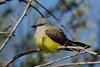 WesternKingbird-2015-008