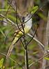 Great-CrestedFlycatcher-EmeraldaMarshFL-11-17-18-SJS-004