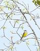 WesternKingbird-KeeneRoadFL-12-12-20-sjs-005