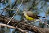 WesternKingbird-2015-005