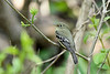 LeastFlycatcher-MM-5-16-17-SJS-001