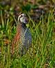 Bobwhite(male)-LAWD-6-14-20-SJS-12