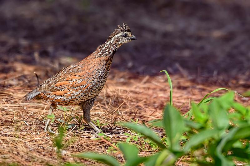 Bobwhite(male)-PearPark-7-15-19-SJS-007