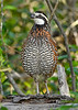 Bobwhite(male)-OcalaNF-4-26-20-SJS-003