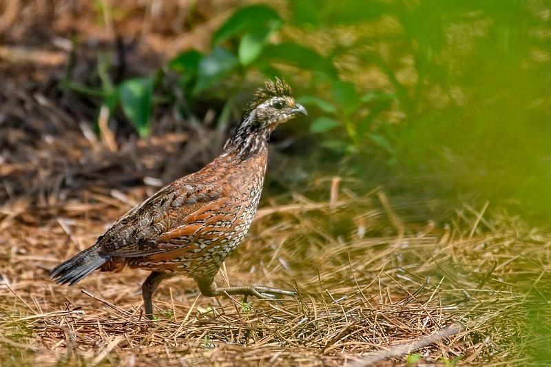 Bobwhite(male)-PearPark-7-15-19-SJS-013