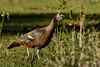 WildTurkey-EmeraldaMarsh-1-5-20-SJS-003