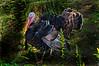 WildTurkey-WVSWC2012-06