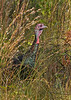 WildTurkey-OaklandNaturePreserveFL-11-16-17-SJS-043