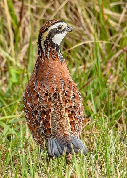 Bobwhite(male)-PineMeadowsCA-12-30-19-SJS-001