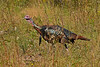 WildTurkey-OaklandNaturePreserveFL-11-16-17-SJS-016