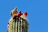 White-wingedDove-TucsonAZ-7-2-18-SJS-009