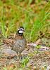 Bobwhite(male)-SawgrassIsland-6-23-19-SJS-004