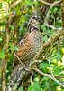 Bobwhite(male)-PearPark-7-15-19-SJS-008