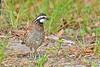 Bobwhite(male)-SawgrassIsland-6-23-19-SJS-007