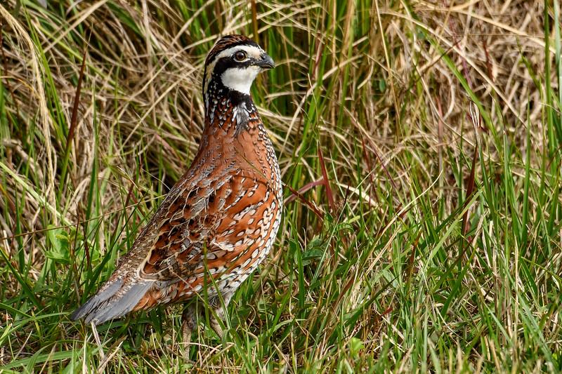Bobwhite(male)-PineMeadows-12-30-19-SJS-004