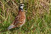 Bobwhite(male)-PineMeadows-12-30-19-SJS-004
