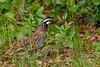 Bobwhite(male)-SawgrassIsland-6-23-19-SJS-001