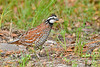 Bobwhite(male)-SawgrassIsland-6-23-19-SJS-008
