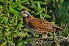 Bobwhite(male)-OcalaNF-6-9-20-SJS-07
