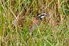 Bobwhite(male)-PineMeadows-12-30-19-SJS-005