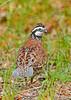 Bobwhite(male)-SawgrassIsland-6-23-19-SJS-011