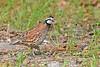 Bobwhite(male)-SawgrassIsland-6-23-19-SJS-010