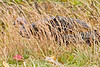 WildTurkeyCataloocheeValleyNC-11-1-18-SJS-020