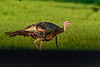 WildTurkey-EmeraldaMarshRd-8-9-20-sjs-004