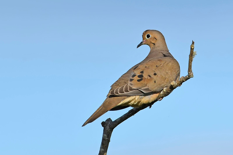 MourningDove-EmeraldaMarsh-4-6-20-SJS-002