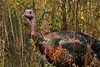 WildTurkey-OaklandNaturePreserveFL-11-16-17-SJS-020