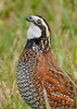 Bobwhite(male)-PineMeadows-12-30-19-SJS-007