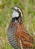 Bobwhite(male)-PineMeadows-12-30-19-SJS-007