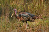 WildTurkey-OaklandNaturePreserveFL-11-16-17-SJS-018
