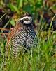Bobwhite(male)-LAWD-6-14-20-SJS-07