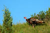 WildTurkeyTheodoreRooseveltNP-ND-2016-SJS-022