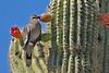White-wingedDove-TucsonAZ-7-2-18-SJS-001