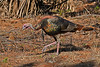 WildTurkey-OaklandNaturePreserveFL-11-16-17-SJS-024