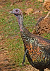WildTurkey-OaklandNaturePreserveFL-11-16-17-SJS-031