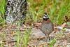 Bobwhite(male)-SawgrassIsland-6-23-19-SJS-002