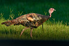 WildTurkey-EmeraldaMarshRd-8-9-20-sjs-002
