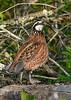 Bobwhite(male)-OcalaNF-4-26-20-SJS-002