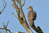 MourningDove-EmeraldaMarsh-7-30-20-sjs-002