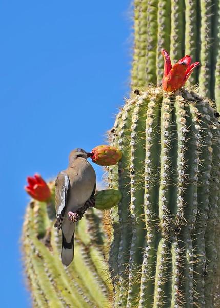 White-wingedDove-TucsonAZ-7-2-18-SJS-011