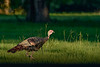 WildTurkey-EmeraldaMarshRd-8-9-20-sjs-003