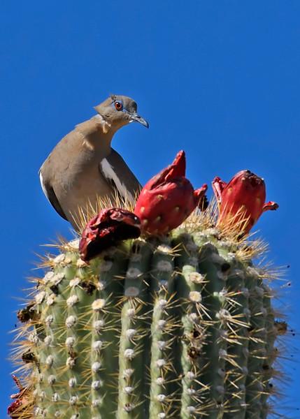 White-wingedDove-TucsonAZ-7-2-18-SJS-006
