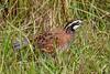 Bobwhite(male)-PineMeadows-12-30-19-SJS-006