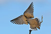 MourningDove-EmeraldaMarsh-4-6-20-SJS-004