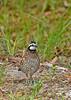 Bobwhite(male)-SawgrassIsland-6-23-19-SJS-006
