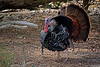 WildTurkey-2015-006