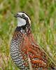 Bobwhite(male)-PineMeadows-12-30-19-SJS-008
